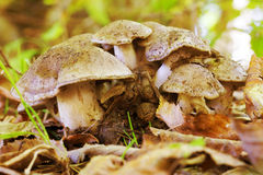 Setas pequeñas y grandes en Autumn Forest Among The Fallen Leaves en fondo natural en hábitat natural imagen de archivo libre de regalías