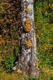 Setas que crecen en árbol viejo Grupo de pequeñas setas en un tronco viejo Bosque otoñal Foto de archivo