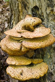 Setas que crecen en tronco de árbol Imagen de archivo libre de regalías