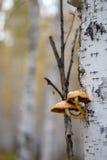 Setas que crecen en tronco de árbol de abedul en un bosque Imagen de archivo libre de regalías