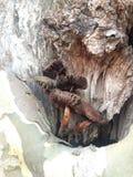 Setas que crecen en un árbol de Occidentalis de los cristales de exposición Imagen de archivo