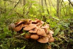 Setas que crecen en un tocón de árbol Fotos de archivo libres de regalías