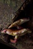 Setas salvajes Fotografía de archivo