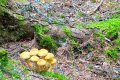 Setas salvajes en suelo del bosque Imagen de archivo