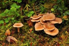 Setas salvajes (squamulosa del Clitocybe) Imagen de archivo libre de regalías