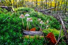 Setas tempranas del otoño dentro de la alfombra verde del musgo Fotos de archivo