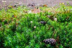 Setas tempranas del otoño dentro de la alfombra verde del musgo Foto de archivo libre de regalías