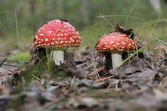Setas venenosas hermosas rojas del bosque fotografía de archivo libre de regalías