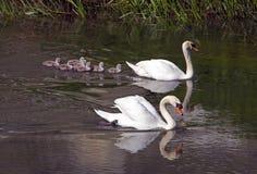 Sete cisnes novos com cisnes do pai fotografia de stock