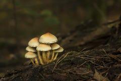 Sete cogumelos amarelos Fotos de Stock