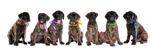 Sete filhotes de cachorro do bullmastiff isolados no branco fotos de stock