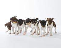 Sete filhotes de cachorro do terrier de rato Fotografia de Stock