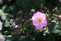 Sete multiflora Thunb de Rosa do †do ‹do ¼ àdo 'de Sistersïà var ¬Â° do 'de ââ do ¼ do 'de Thory ïà do carnea imagem de stock