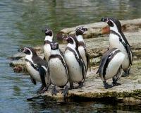 Sete pinguins de Humbolt Fotos de Stock