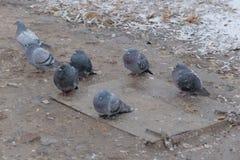 Sete pombos Imagens de Stock