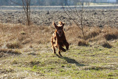 Free Seter Dog On A Walk Royalty Free Stock Photography - 51487007