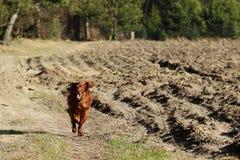 Seter dog on a walk Stock Photos