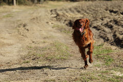 Seter dog on a walk Royalty Free Stock Photography