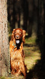 Seter dog on a walk Stock Photography