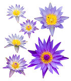 Seth isolates of purple lotus. With yellow pollen, which are different sizes Stock Photo