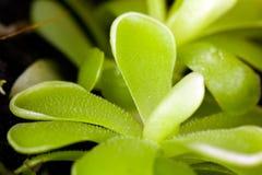 Sethos del Pinguicula, una pianta esotica e carnivora immagini stock