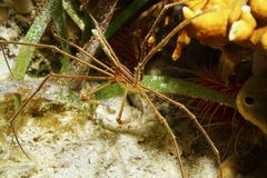 Seticornis de Stenorhynchus de crabe de flèche de Yellowline Image stock