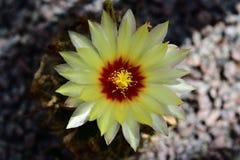 Setispinus de Thelocactus da flor do cacto foto de stock