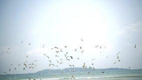 Setki błękitni footed frajerów durnie lata i łowi, Azja, widok na ocean zbiory wideo