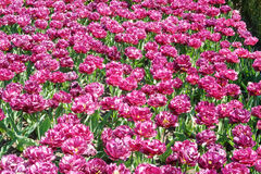 Setki czerwoni tulipany Obrazy Stock