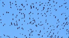 Setki kruki latają w niebieskim niebie zbiory