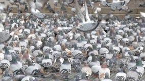 Setki miasto gołębie gromadzą się karma która daje kobiety na ulicie Barcelona, zbiory wideo
