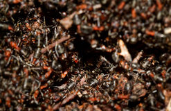 Setki mrówki zdjęcia royalty free