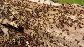 Setki mrówki biega wokoło ich koloni w starej Doty beli gniazdują zbliżenie zbiory wideo