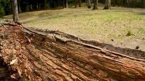 Setki mrówki biega wokoło starej szorstkiej drewnianej beli zbiory