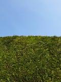 Seto alto del jardín y cielo azul del claro Fotos de archivo libres de regalías