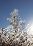 Seto congelado y abedul cubiertos con hielo Imagenes de archivo