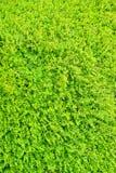 Seto de estallido del arbusto del verde vivo Imágenes de archivo libres de regalías