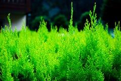 Seto del ciprés verde claro fotografía de archivo libre de regalías
