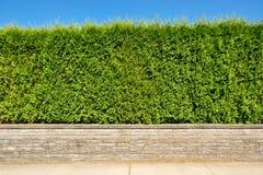Seto verde creciente en terraza de la tierra en fondo del cielo azul Fotografía de archivo