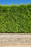 Seto verde creciente en terraza de la tierra en fondo del cielo azul Imagenes de archivo