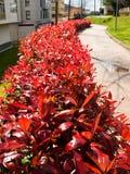 Setos rojos del camino Foto de archivo libre de regalías