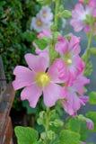 Setosa del Alcea - planta erizada de la flor de la malvarrosa Imagen de archivo libre de regalías