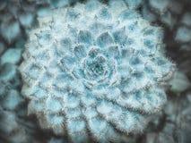 Setosa di Echeveria Succulente lanuginoso dal Messico Succulenti, cactus e concetti del giardino del deserto Vista superiore Fotografie Stock
