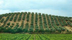 Sets of olive trees Royalty Free Stock Photo