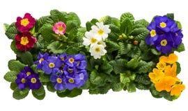 Sets Primulas von oben Stockfoto