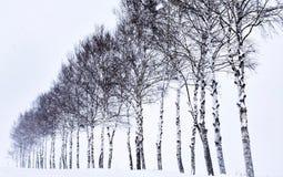 Sette alberi della stella nell'Hokkaido, Giappone fotografie stock