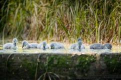 Sette cigni che nuotano al bordo di vecchia serratura Fotografia Stock
