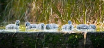 Sette cigni che nuotano e che mangiano al bordo di vecchia serratura Fotografie Stock Libere da Diritti