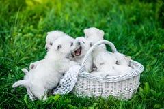 Sette cuccioli West Highland Terrier bianco in un canestro con le belle luci a fondo fotografia stock libera da diritti