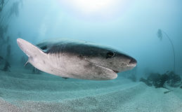 Sette Gill Shark Immagine Stock